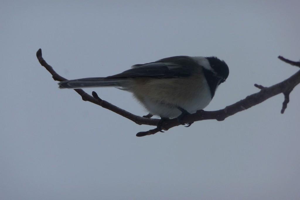 chickadee-1.small_